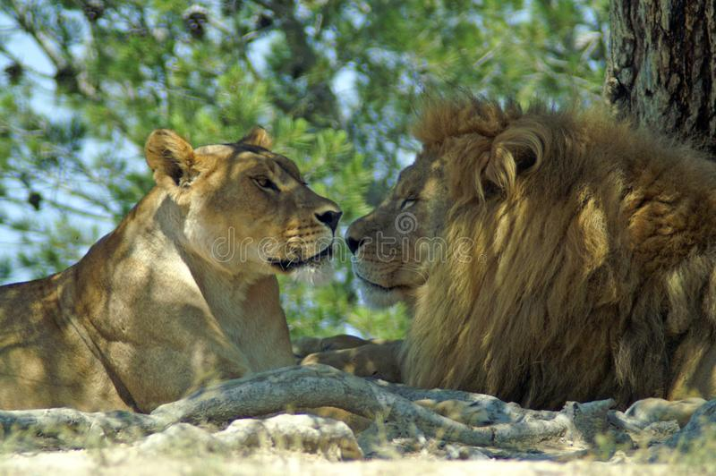 The lion and lioness rest in the shade of a tree stock photography