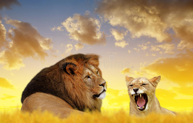 Lion and lioness on the savannah. royalty free stock image