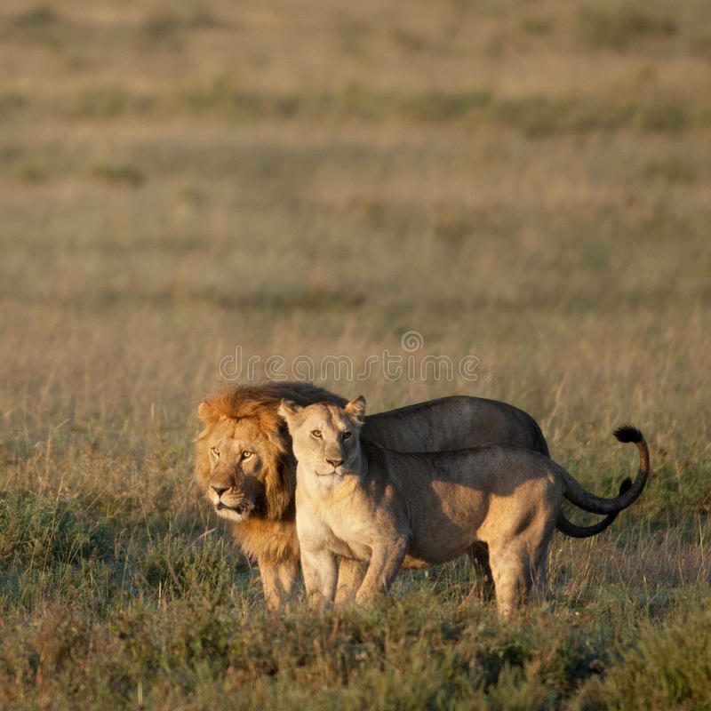Lion And Lioness At The Serengeti National Park Stock Images