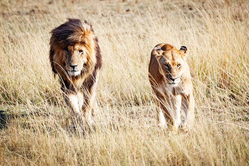 Lion and Lioness Walking Towards Camera. Well-known African wild lion named Scarface and a lioness walking through the grasslands of Kenya, Africa stock photography