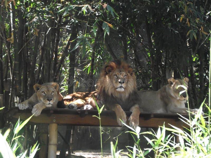 Lion With Lionesses fotografia de stock royalty free
