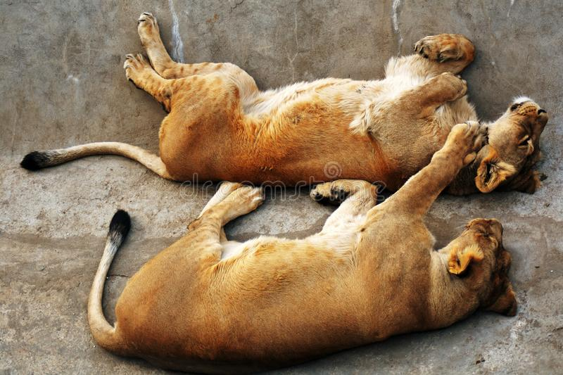 Lion and lionesss sleep on grey stone surface. Color photo taken at zoo park