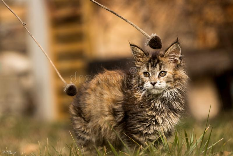 lion little arkivfoto