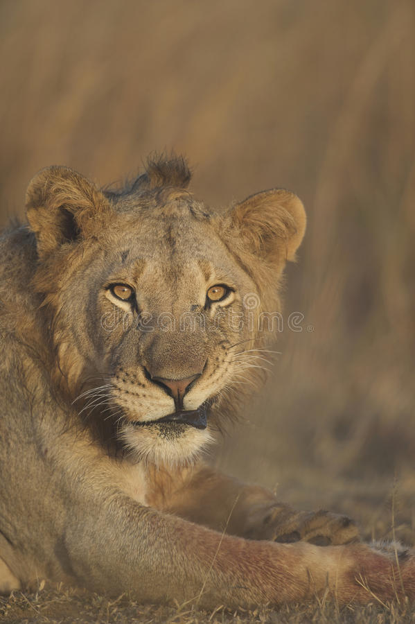 Lion Looking. At camera with mouth pulled stock photo