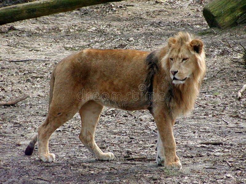 Download Lion Looking stock image. Image of barking, predator, bark - 405175