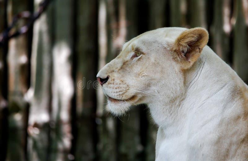 Lion Looking Ahead femenino, Live In Open Zoo foto de archivo libre de regalías