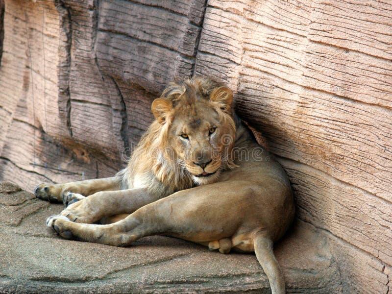 Lion Looking bij camera royalty-vrije stock afbeelding
