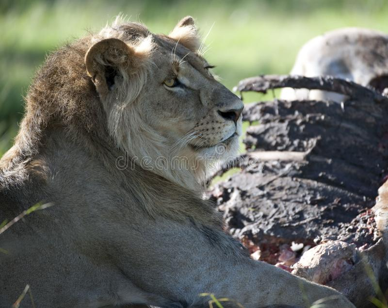 Lion looking to right showing mane, and golden brown eye, stock photo