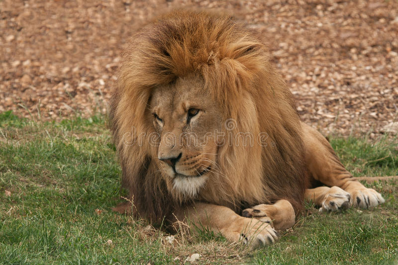 Lion lounging. Benevolent looking male lion lounging on grass stock images