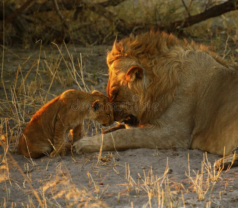 Lion Love with Big Brother obrazy royalty free