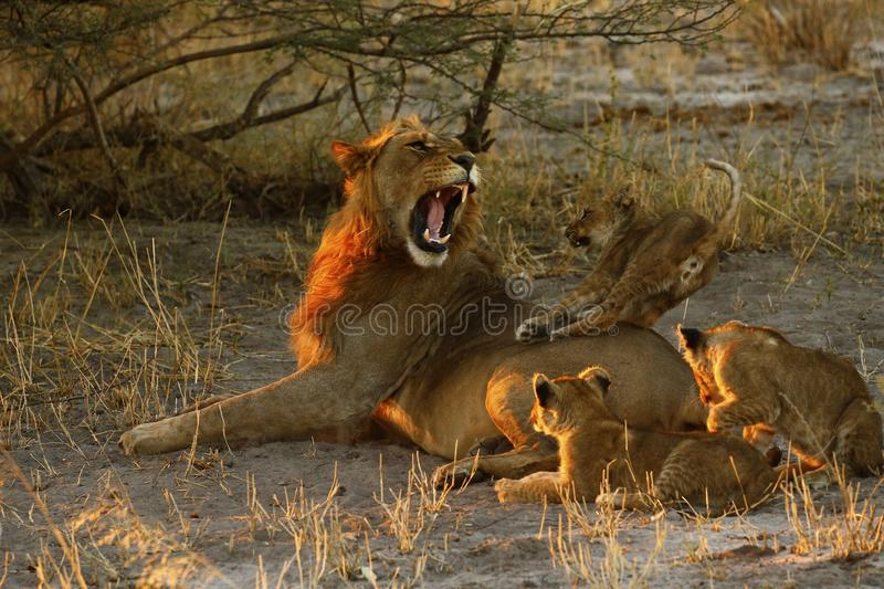Lion Love with Big Brother fotografia royalty free