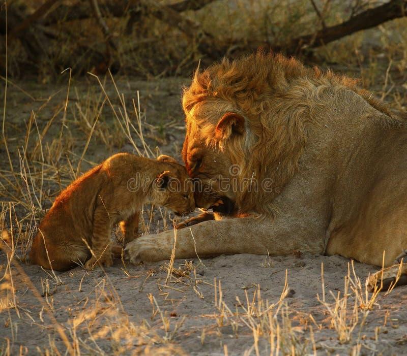 Lion Love with Big Brother royalty-vrije stock afbeeldingen