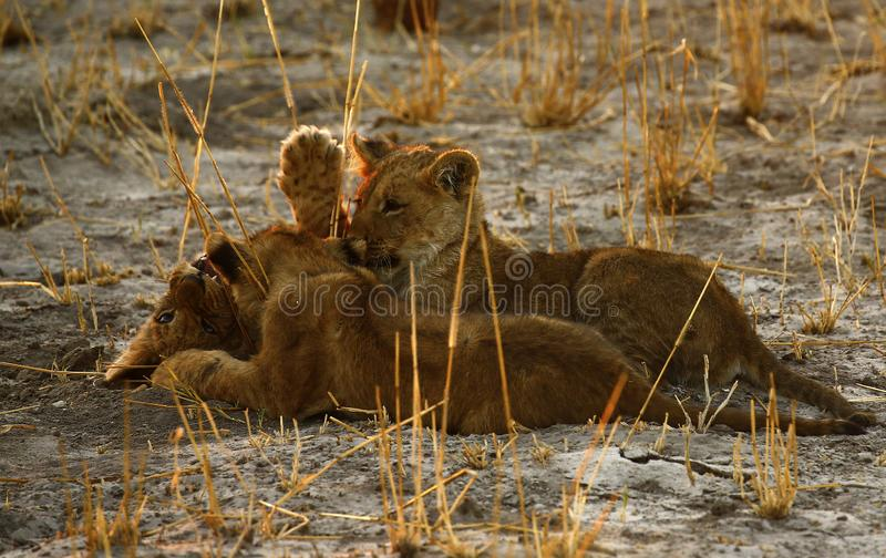 Lion Love with Big Brother royalty-vrije stock foto's