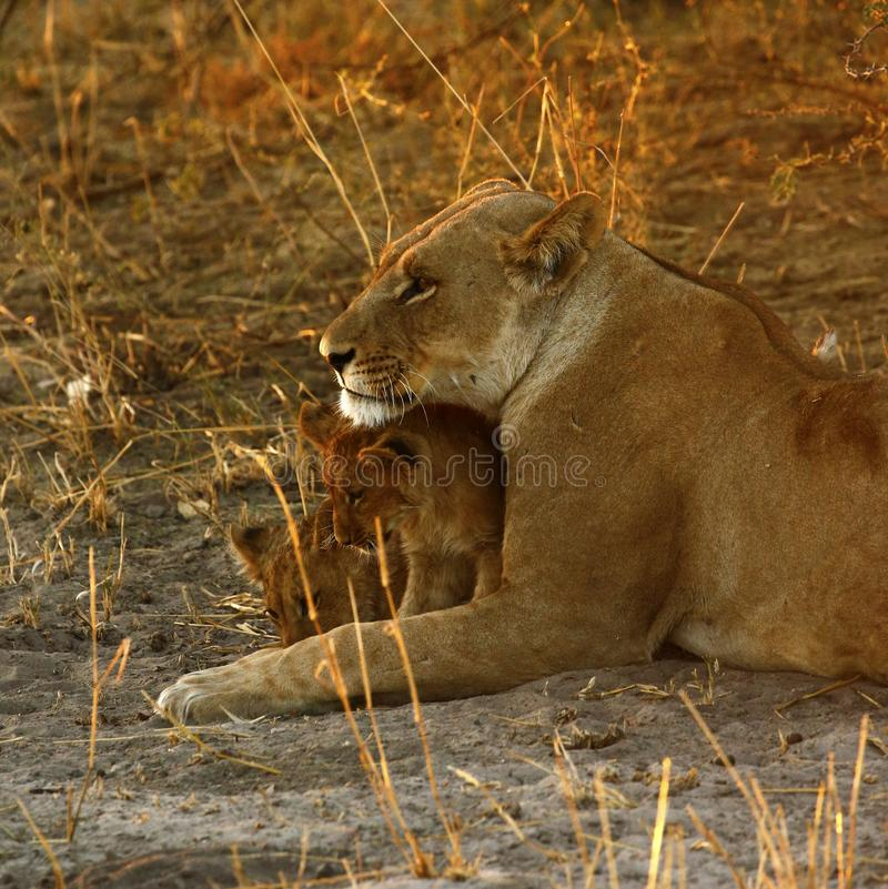 Lion Love with Big Mama royalty-vrije stock afbeelding