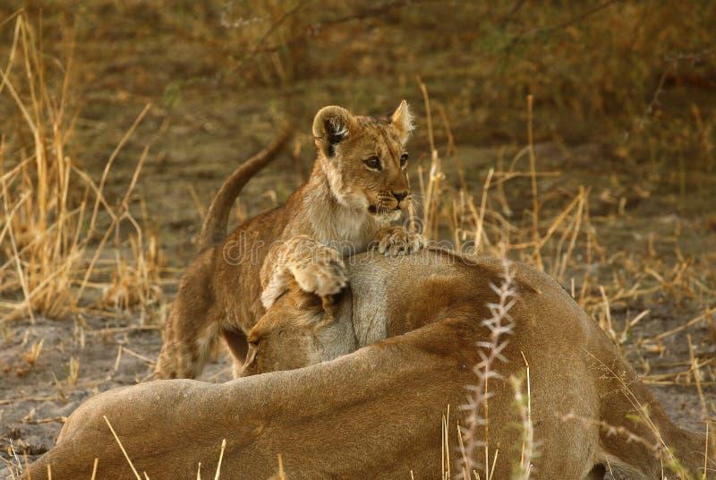 Lion Love with Big Mama royalty-vrije stock fotografie