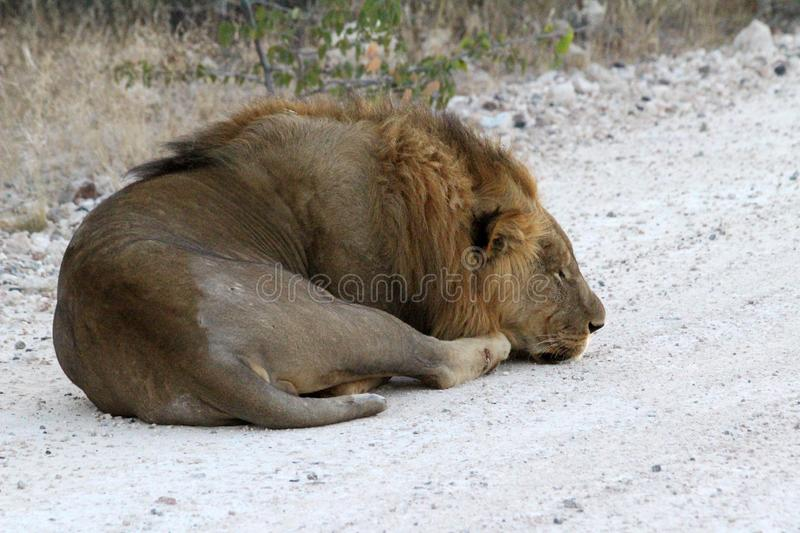 Lion lying down in etosha national park, Namibia. Out on safari in the etosha national park in Namibia as part of a larger pride royalty free stock images