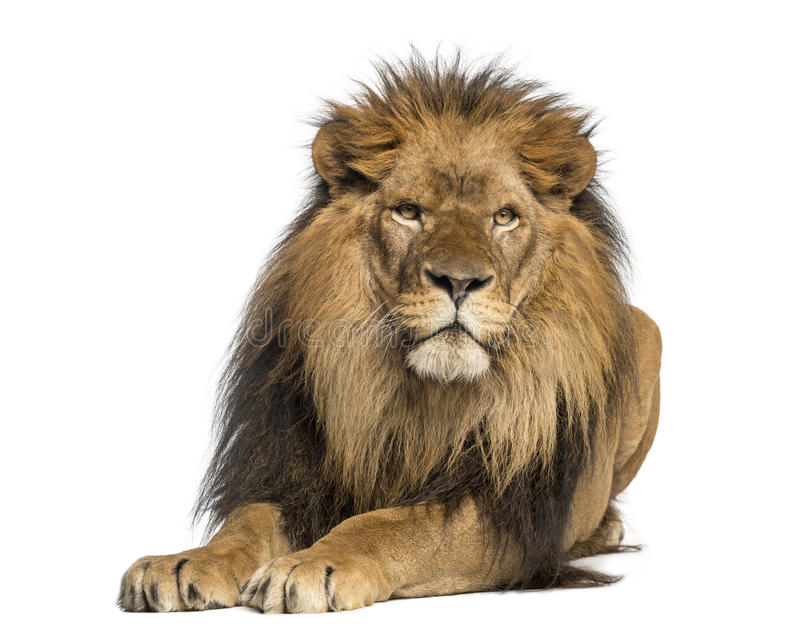 Lion lying down, facing, Panthera Leo, 10 years old. Isolated on white stock photo