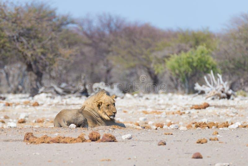Lion lying down on the ground. Wildlife safari in the Etosha National Park, Namibia, Africa. Lion lying down on the ground. Wildlife safari in the Etosha royalty free stock image