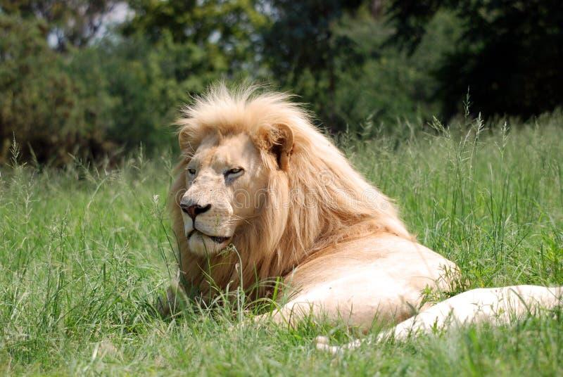 Lion lying on grass stock photo