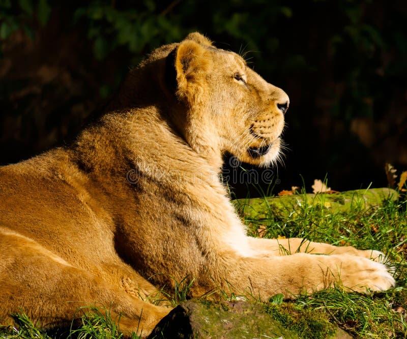 Lion lying in sun stock image