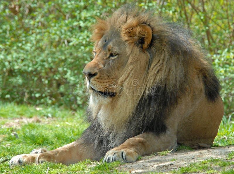 Lion mâle images stock