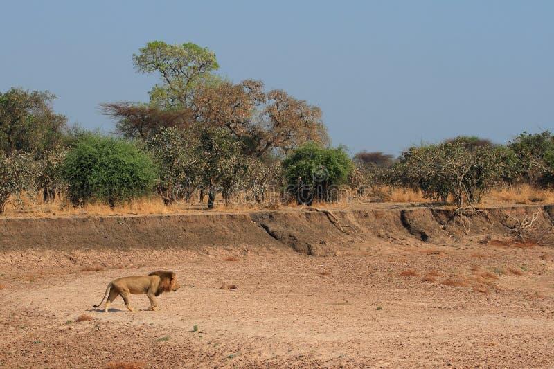 Lion mâle dans le sauvage photos libres de droits
