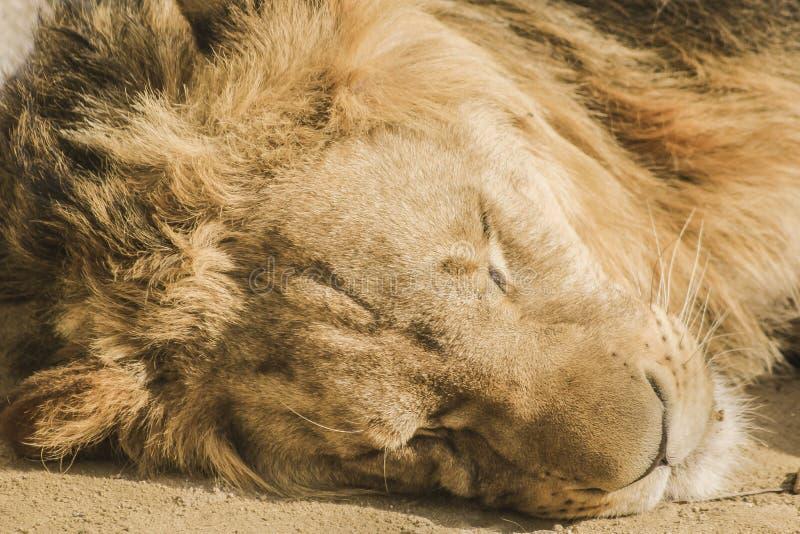 Lion mâle de sommeil image stock