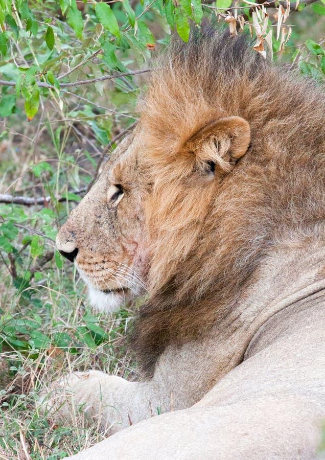Lion mâle se couchant photographie stock libre de droits