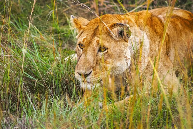 Lion at Maasai Mara NR, Kenya stock photo
