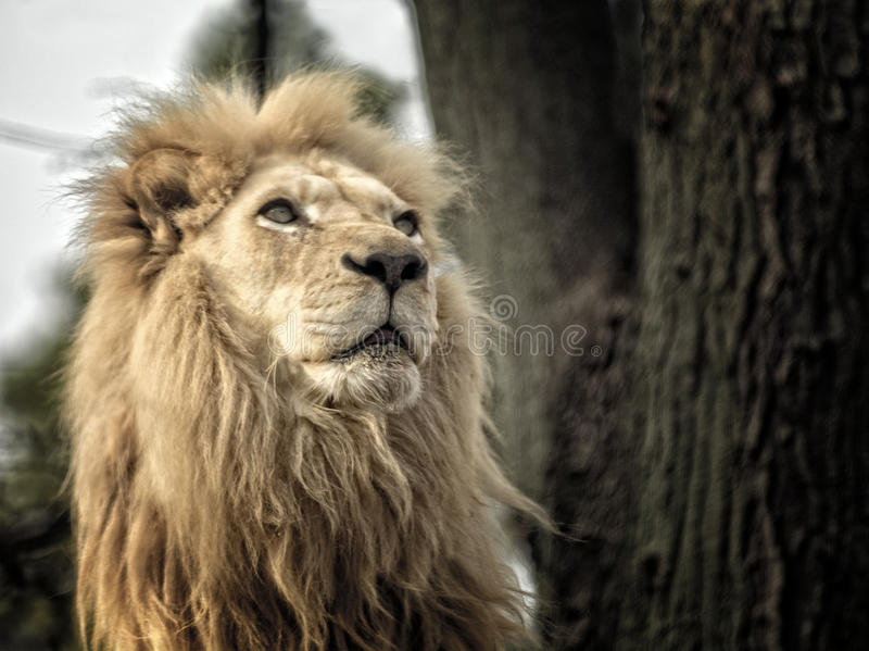 Lion. A majestic and proud Lion portrait stock photos