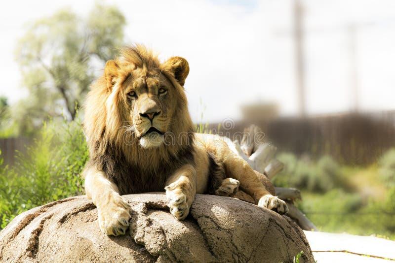 Lion majestueux se dorant dans le soleil de matin image stock