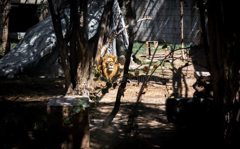 Lion majestueux se trouvant vers le bas regardant l'horizon entre les arbres dans la jungle images stock