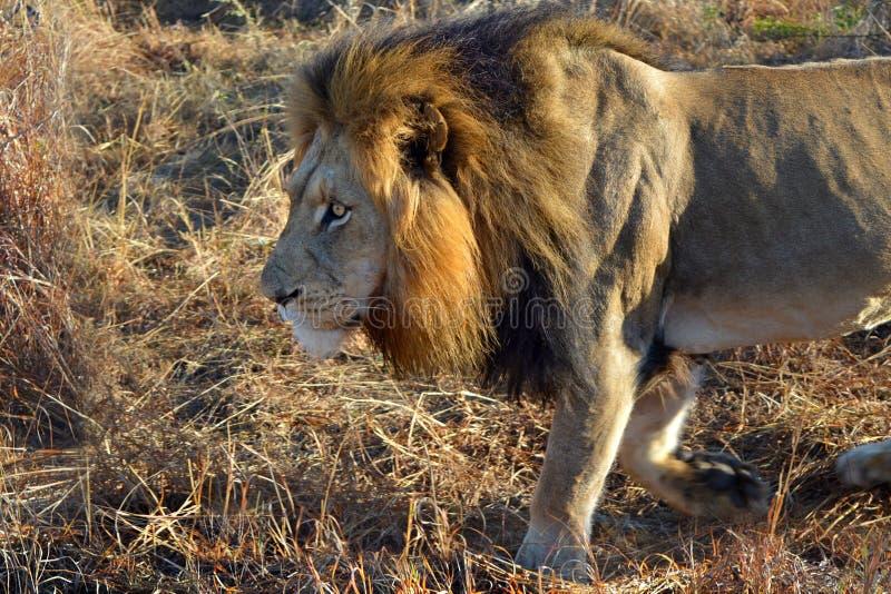Lion Male Africa Savannah Walking royaltyfri fotografi