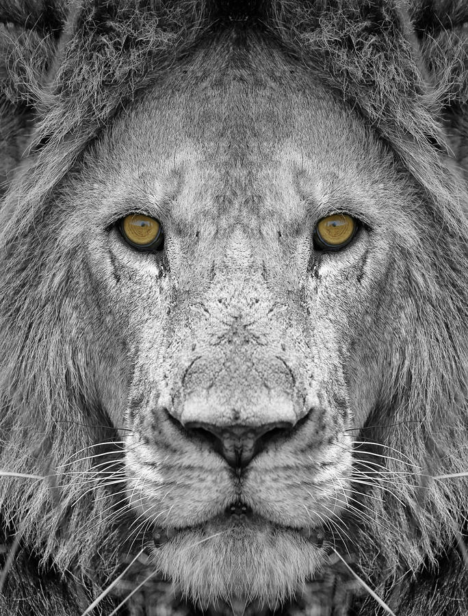 Lion. Male Lion in Black and White royalty free stock photo