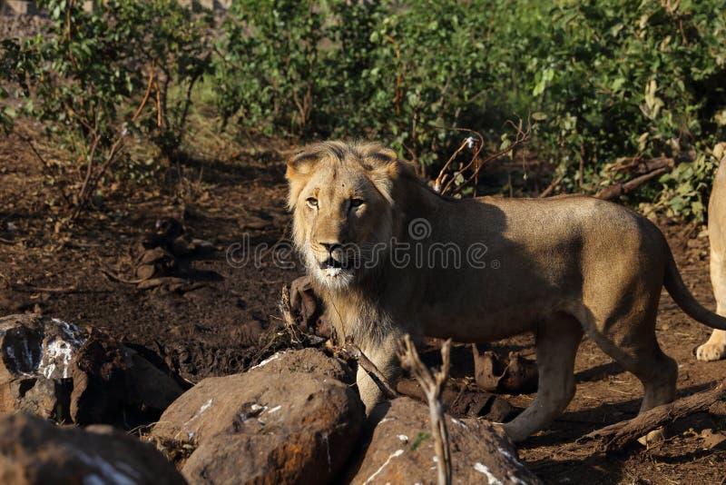 Lion Male Hungry adolescente no parque nacional de Hwage, Zimbabwe fotos de stock