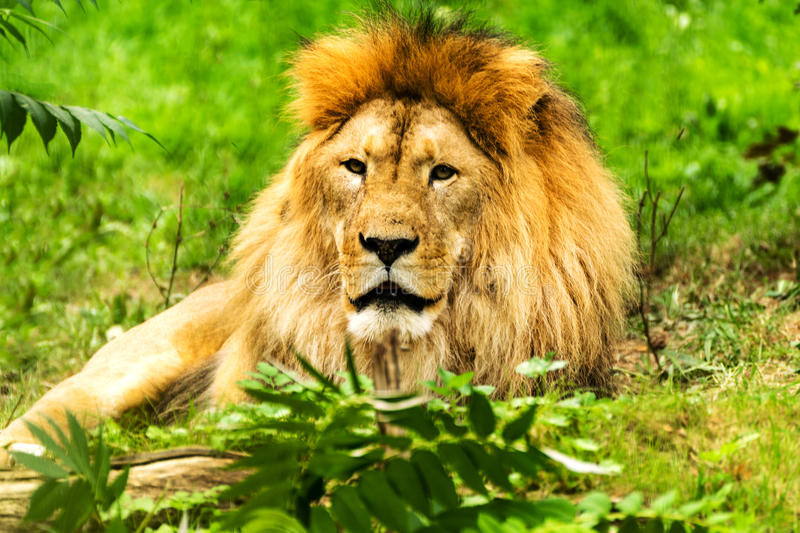 Lion Male leo panthera royaltyfri bild