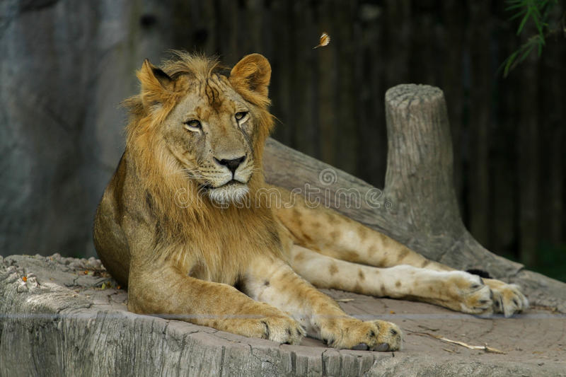 The Lion. A male lion overlooking his harem royalty free stock image
