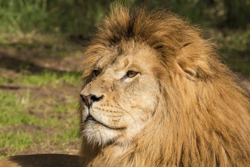 Lion, male. Panthera leo. Panthera leo, the male Lion. In captivity royalty free stock photography