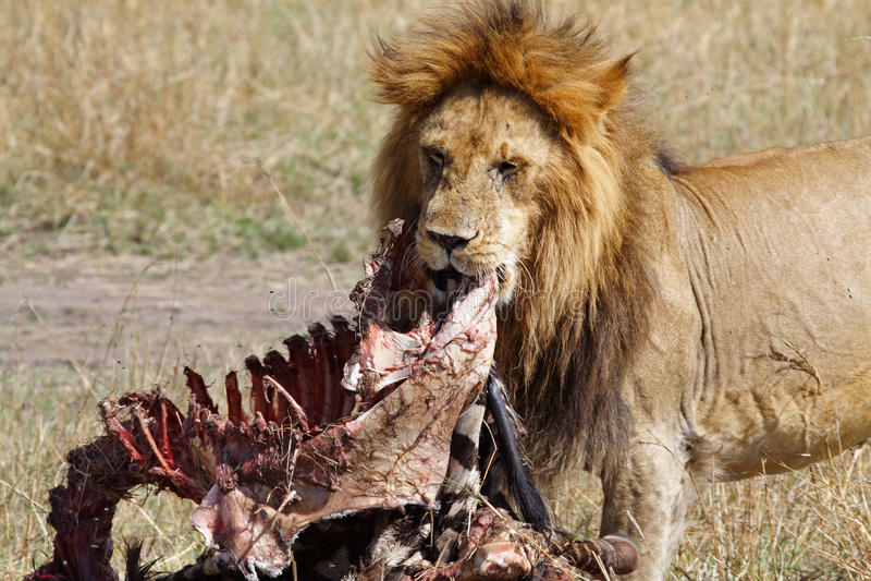 Lion male with zebra kill stock photos