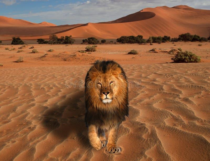 Lion marchant sur le désert au grand roi de coucher du soleil de l'anima image stock