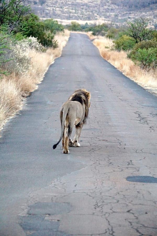 Lion marchant sur une route photographie stock libre de droits