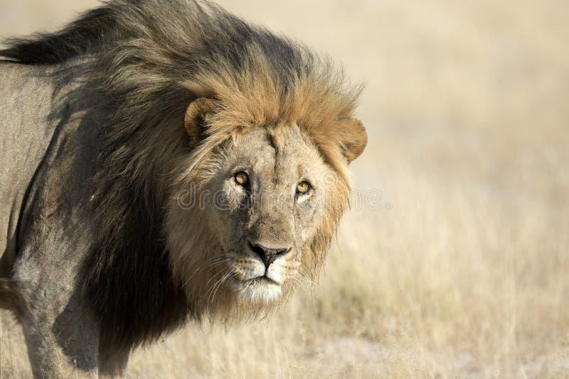 Lion masculin photographie stock libre de droits