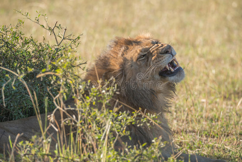 Lion masculin baîllant derrière le buisson sur la savane image libre de droits