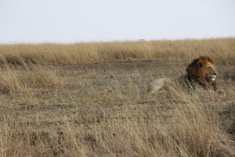 Lion masculin dans le maasai sauvage Mara images libres de droits