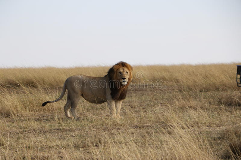 Lion masculin dans le maasai sauvage Mara photos stock