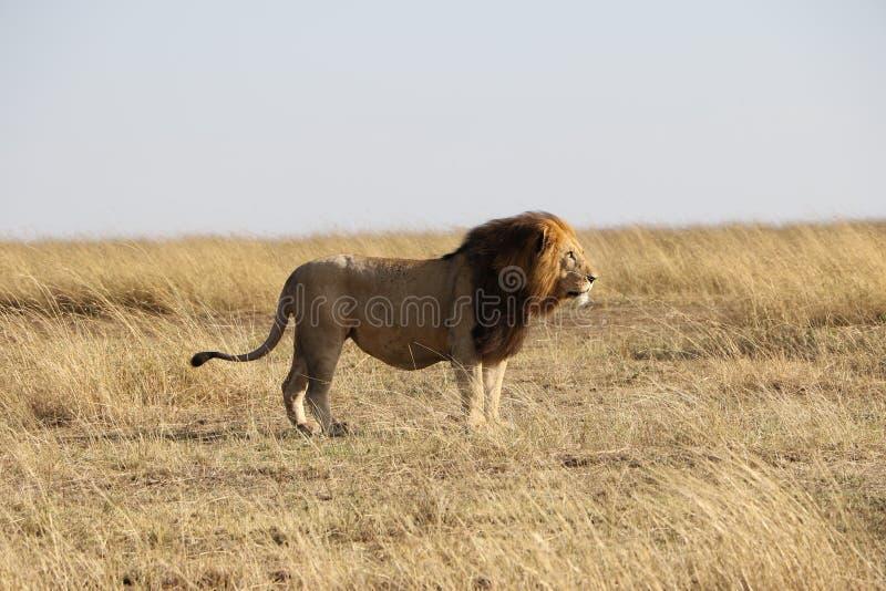 Lion masculin dans le maasai sauvage Mara photos libres de droits