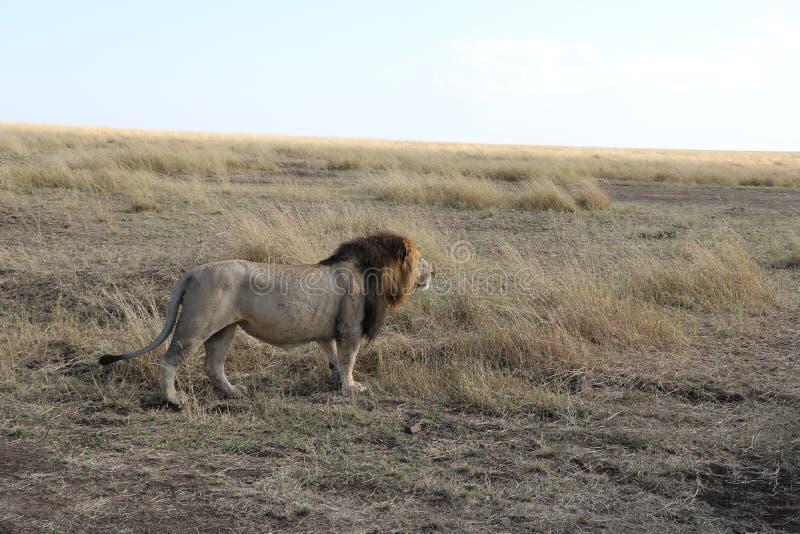 Lion masculin dans le maasai sauvage Mara photo stock