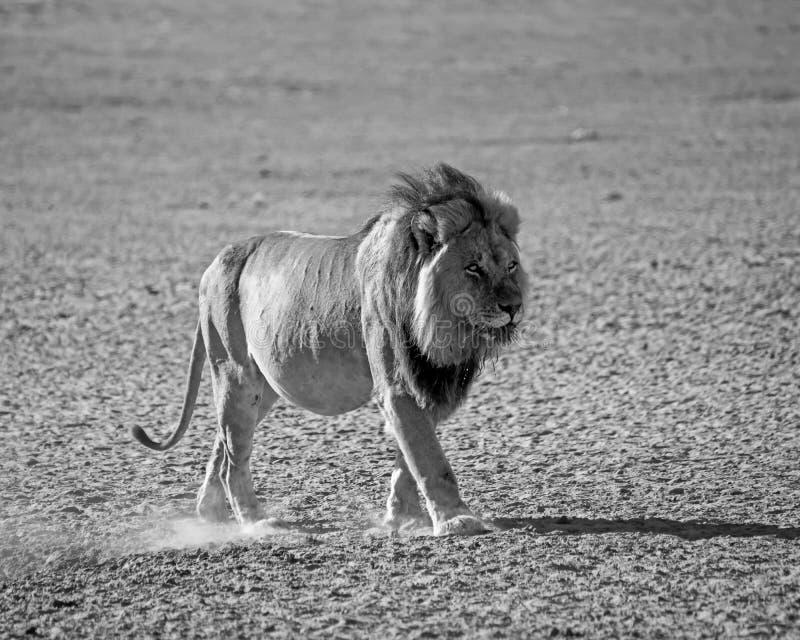 Lion masculin de Kalahari images libres de droits