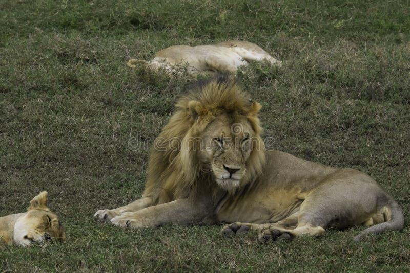 Lion masculin grincheux dans Serengeti image stock