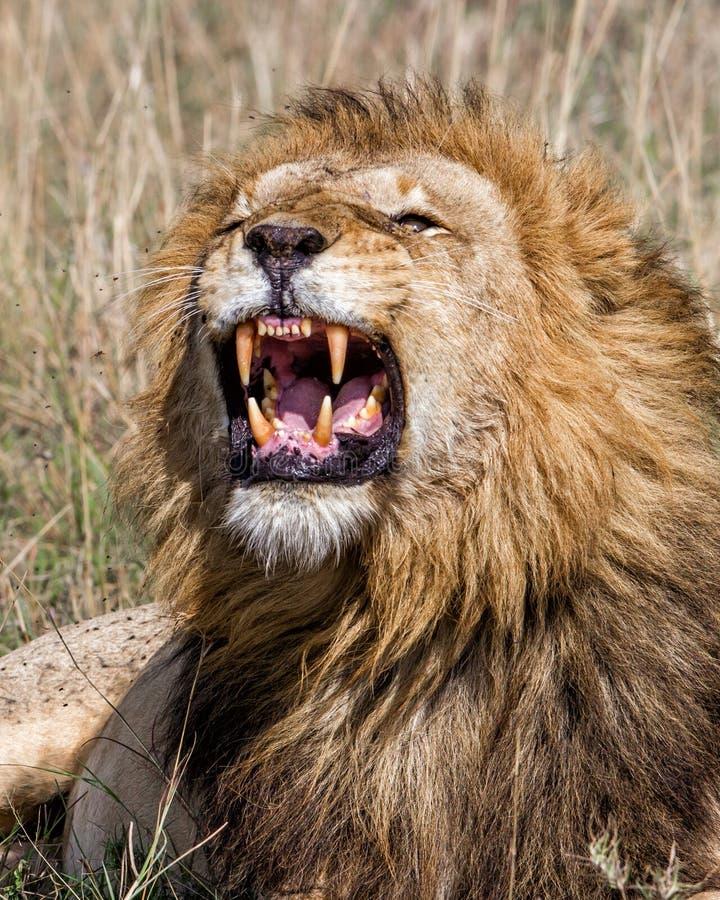 Lion masculin grognant dans Masai Mara NP image libre de droits